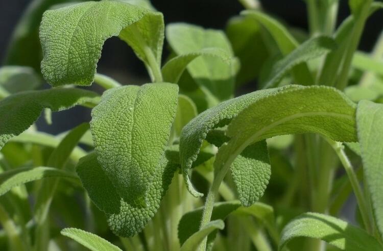 Akdeniz ada çayı nedir? Faydaları nelerdir?