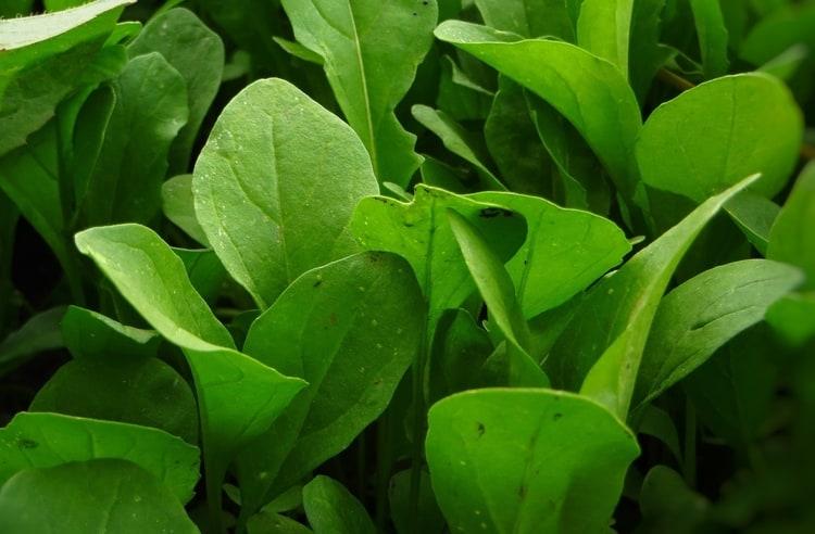 Birbirine benzeyen iki yeşillik: Roka ve Tere