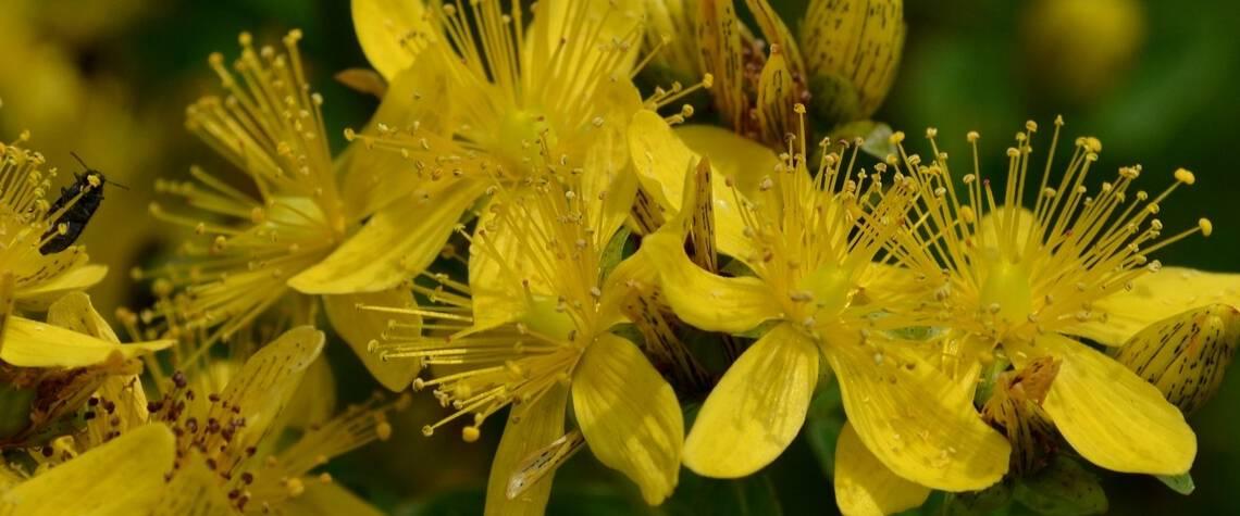 Sarı Kantaron nedir? Nasıl kullanılır?