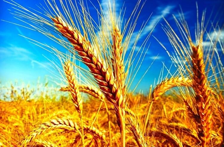 Glüten nedir? Glüten içeren buğday zararlı mıdır?