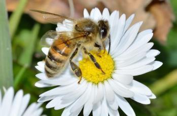 Şifalı bal üreten çalışkan Kafkas arıları