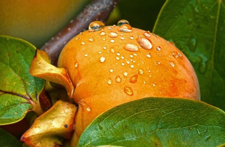 İpek Yolu ile ülkemize gelen meyve: Kaki