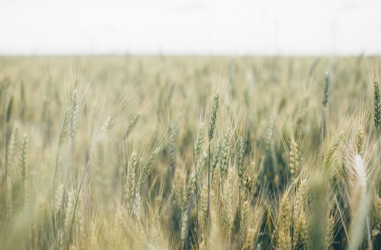 Yıllara meydan okuyan siyez buğdayı