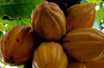 Kakao nedir? Nerelerde üretilir? Çiğ kakao nedir?