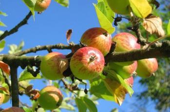 Elma yemenin bilimsel olarak kanıtlanmış faydaları