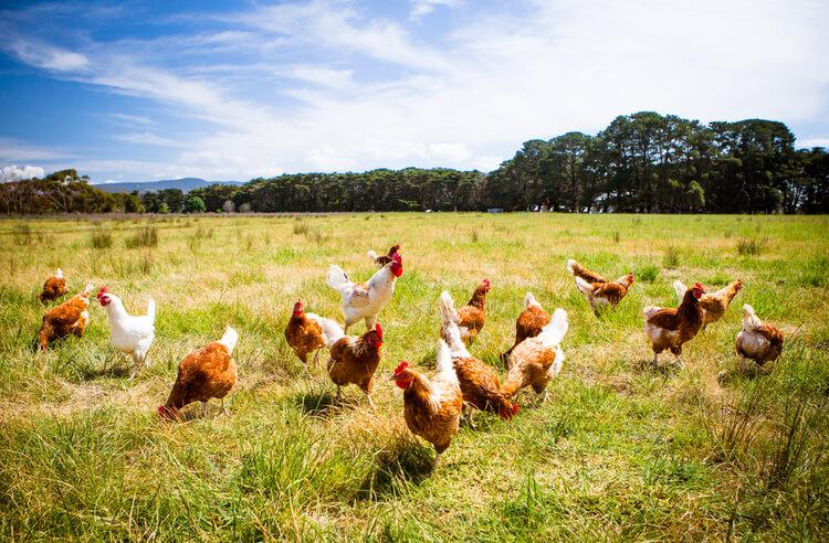 Neden özgür gezen tavuk yumurtası?