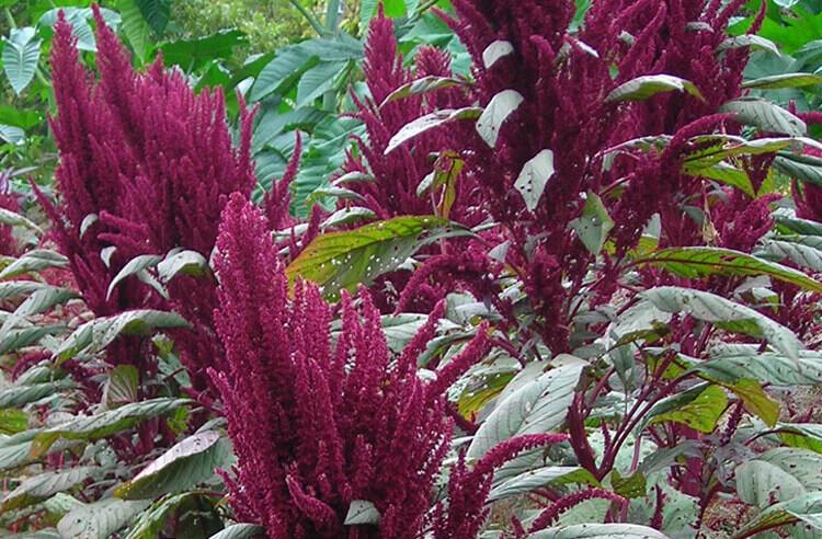 Protein ve lif deposu tahıl: Amarant