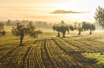 Zeytinyağı üretiminde dünyada neredeyiz?