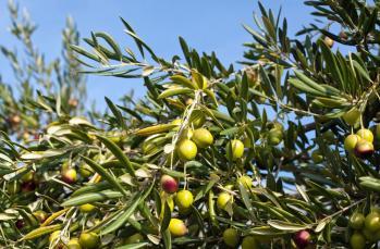 Zeytinyağının erken hasat olması ne anlama gelir?